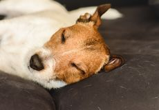 Shedding dog sleeping on dirty couch covered with molted pet hair royalty free stock images