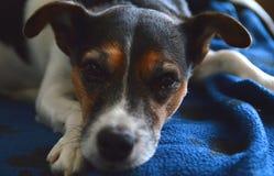 Jack Russell Terrier som kopplar av på en blå filt Royaltyfri Fotografi