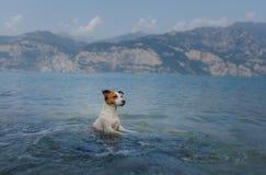 Jack Russell Terrier-spelen in het water Het huisdier zwemt in het meer Het reizen met een hond royalty-vrije stock fotografie