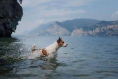 Jack Russell Terrier-spelen in het water Het huisdier zwemt in het meer Het reizen met een hond stock foto