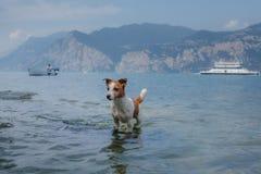 Jack Russell Terrier-spelen in het water Het huisdier zwemt in het meer Het reizen met een hond royalty-vrije stock foto