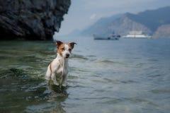 Jack Russell Terrier-spelen in het water Het huisdier zwemt in het meer Het reizen met een hond royalty-vrije stock afbeeldingen
