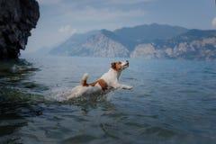 Jack Russell Terrier-spelen in het water Het huisdier zwemt in het meer Het reizen met een hond stock afbeeldingen