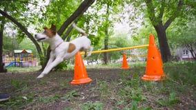 Jack Russell Terrier-sprongen over een barrière in het park Hond opleiding, huisdieren stock footage