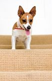 Jack Russell terrier on a staircase Stock Photography