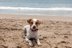 Jack Russell Terrier Stand On Hot Sand Royalty Free Stock Image