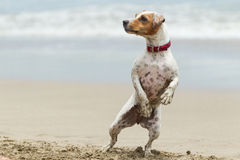 Jack Russell Terrier Stand Up Royalty Free Stock Image