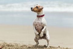Jack Russell Terrier Stand Up Stock Photography
