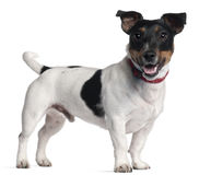 Jack Russell Terrier, standing Stock Photo