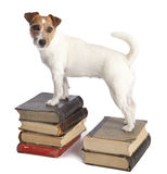 Jack russell terrier standing stock images