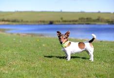 Jack Russell Terrier Standing auf dem Gras-Schauen Stockfotografie