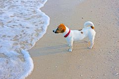 Jack Russell Terrier is standing on the beach and waiting for the owner who swims. Jack Russell Terrier is standing on the beach and waiting royalty free stock images