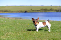 Jack Russell Terrier Standing on Grass Stock Photography