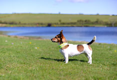 Jack Russell Terrier Standing on Grass Watching Stock Photo