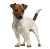 Jack Russell Terrier standing and looking away Stock Photography