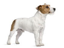 Jack Russell Terrier, standing and looking up Royalty Free Stock Images