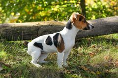 Jack Russell terrier standing in low forest grass, sun shining on her, small fallen tree background royalty free stock photography
