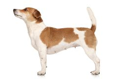 Jack Russell terrier in standing Royalty Free Stock Images