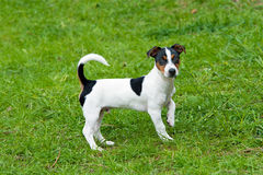 Jack Russell Terrier stands. Royalty Free Stock Image