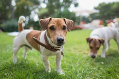 Jack russell terrier stands on green grass. Jack russell terrier with collar standing on the green grass on yard with another dog Stock Photo