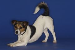 Jack Russell Terrier Stretching Royalty Free Stock Photos