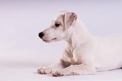 Jack Russell Terrier am Studio auf Weiß lizenzfreies stockbild