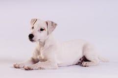 Jack Russell Terrier am Studio auf Weiß lizenzfreies stockfoto