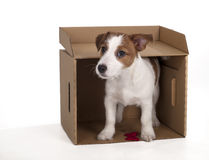 Jack Russell Terrier in the studio on a white background Stock Photo