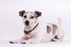 Jack Russell Terrier at studio on white. Jack Russell Terrier lying portrait at studio on white royalty free stock photo