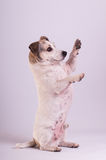 Jack Russell Terrier at studio on white Royalty Free Stock Image