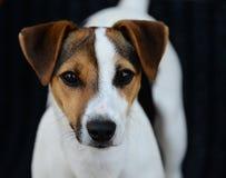 Jack Russell Terrier su un fondo nero immagini stock