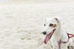 Jack Russell Terrier sul fondo della spiaggia Fotografie Stock