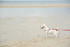 Jack Russell Terrier sul fondo della spiaggia Fotografie Stock Libere da Diritti