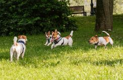 Pack of four Jack Russell Terrier dogs romping and frolicking off leash at park. 4 Jack Russell Terrier at summer park lawn Royalty Free Stock Image