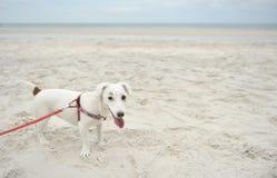 Jack Russell Terrier sur le fond de plage Photographie stock libre de droits