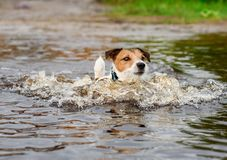 Dog wading in water cooling down at hot summer day Royalty Free Stock Photography