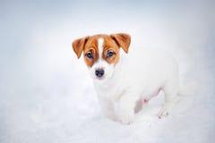 Jack Russell Terrier szczeniak, portret w zimie obraz stock