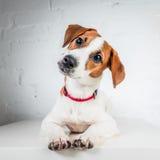 Jack Russell Terrier szczeniak w czerwonej kołnierz pozyci na krześle na białym tle Zdjęcie Stock