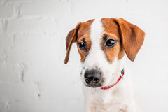 Jack Russell Terrier szczeniak w czerwonej kołnierz pozyci na krześle na białym tle Zdjęcia Stock