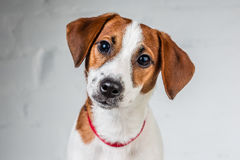 Jack Russell Terrier szczeniak w czerwonej kołnierz pozyci na krześle na białym tle Zdjęcie Royalty Free