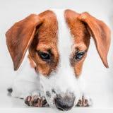 Jack Russell Terrier szczeniak w czerwonej kołnierz pozyci na krześle na białym tle Obraz Royalty Free