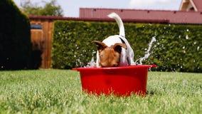 Jack Russell Terrier täuscht das Wasser aus einer Waschschüssel heraus herum graben stock video