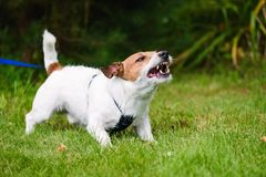 Angry dog aggressively barking and defending his territory. Jack Russell Terrier tethered on leash barking fiercely stock photos