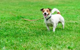 Jack Russell Terrier tethered with long line pet training lead stock images