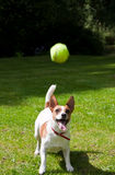Jack Russell terrier about to jump for her ball. A Jack Russell terrier watches her tennis ball fly through the air and prepares to jump to catch it. Photo taken Stock Image