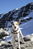 Jack Russell Terrier on Top of Mtn Seymour, North Vancouver BC. Mac the Jack Russell Terrier on Top of Mount Seymour during a Spectacular Sunshine Hike. The Stock Photography