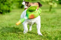 Hunting dog training to fetch game with toy duck shows teeth. Jack Russell Terrier with toy bird at backyard lawn stock image