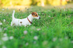 Jack Russell Terrier valp i gräset arkivbild