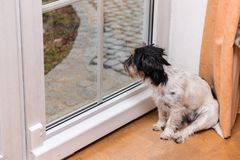 Jack Russell Terrier van een hond zit in de ruimte op de vloer en kijkt uit het venster stock afbeelding