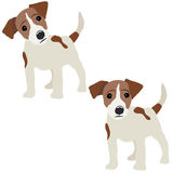 Jack Russell Terrier.   Stock Photo